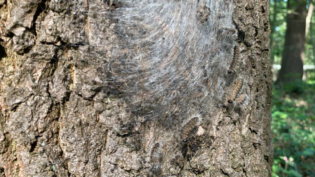 Ein Nest des EPS