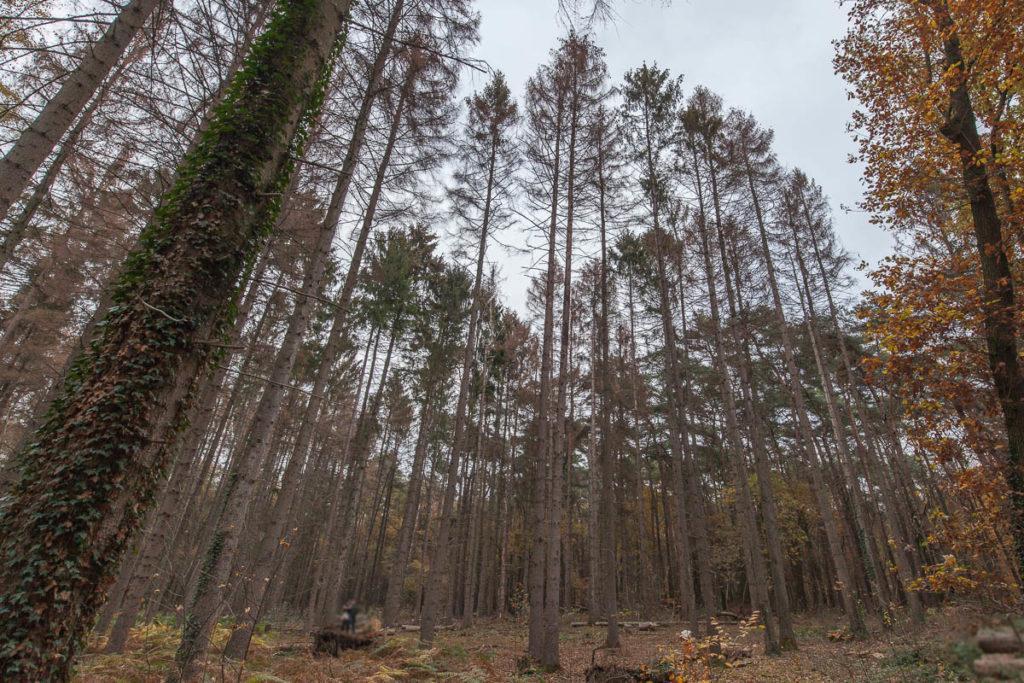 Dieser Fichtenwald ist dem Borkenkäfer komplett zum Opfer gefallen.