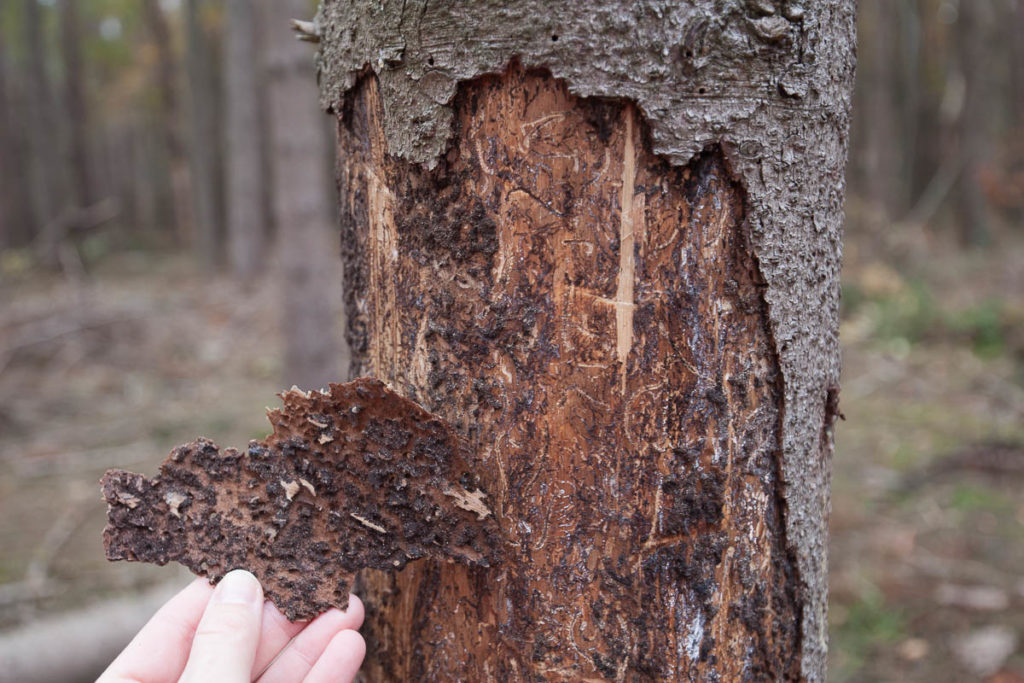Der Borkenkäfer frisst sich durch die Baumrinde und richtet erheblichen Schaden an.