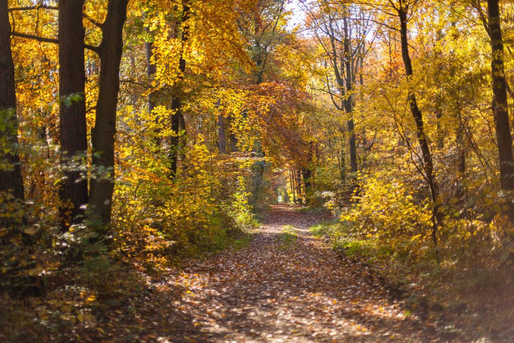 Der  Hardter Wald mit bunten Herbstlaub.