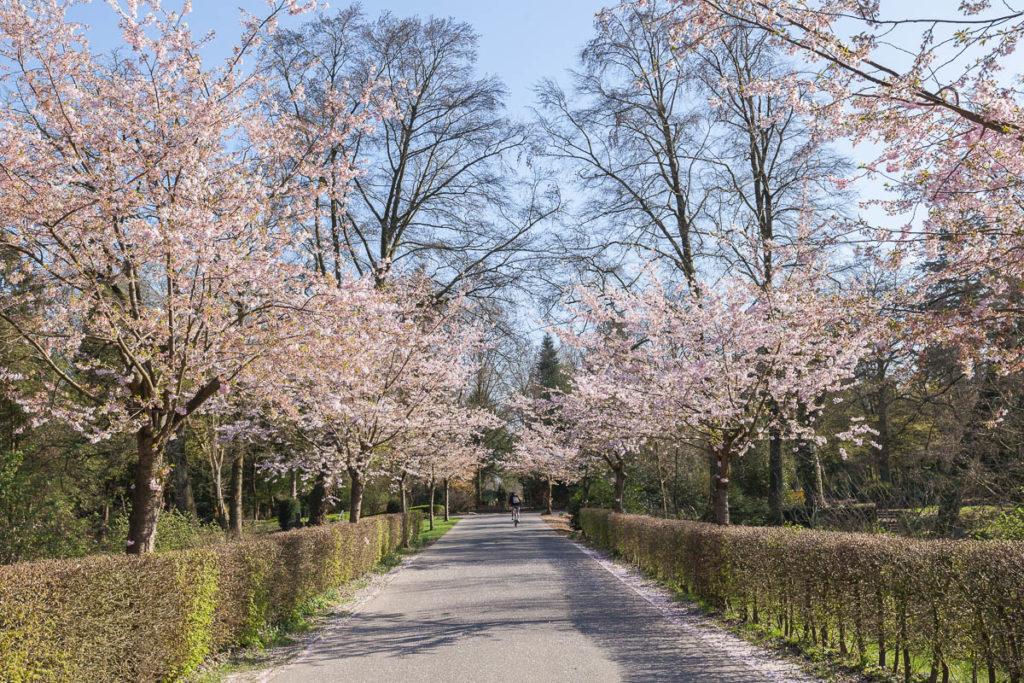 Kirschblüte im Frühjahr auf dem Hauptfriedhof.